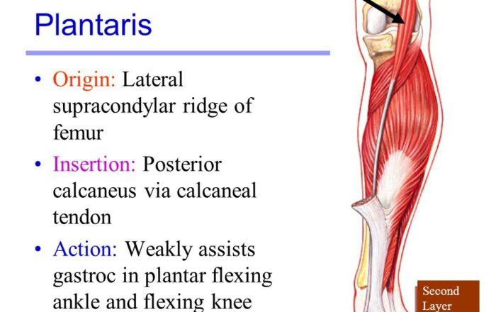 Plantaris muscle