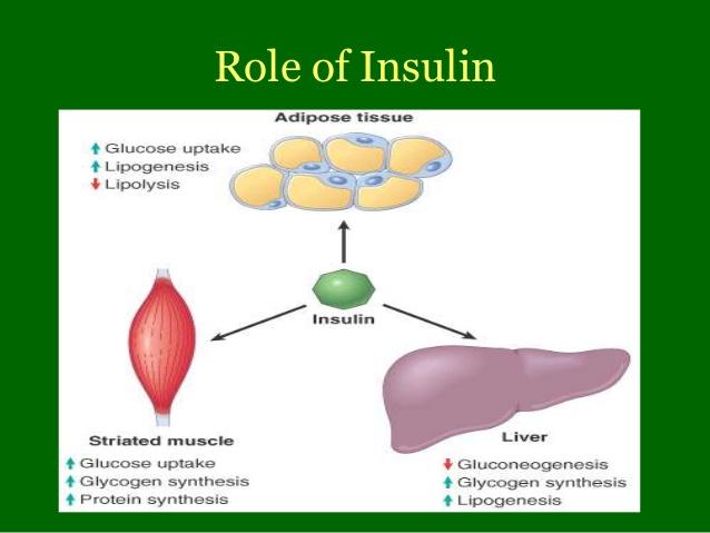 insulin function