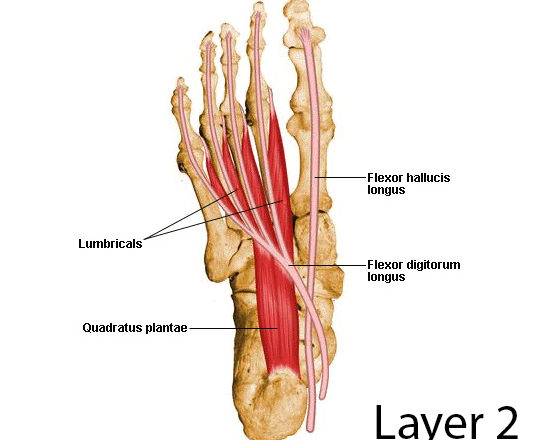 lumbricals foot muscles