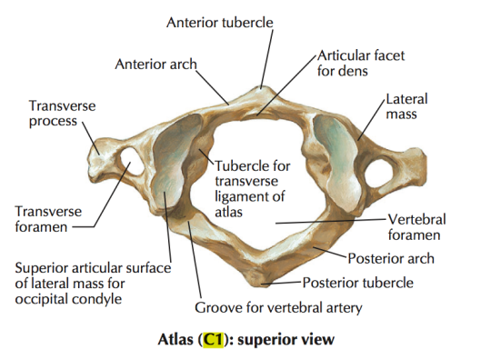 C1 vertebral body anatomy