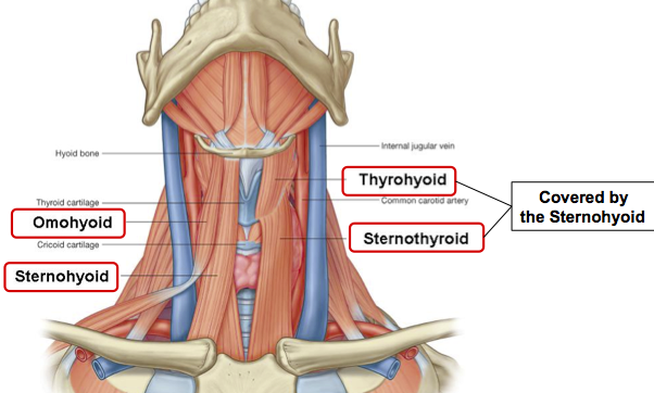 Omohyoid Muscles