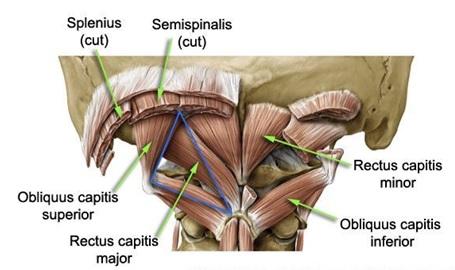 Suboccipital nerve  Wikipedia