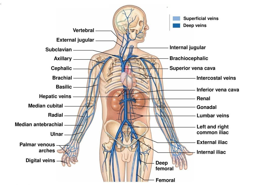 Veins Typesvenous System Clinical Significance How To Relief